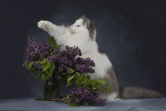 The cat plays with a bouquet of lilacs Royalty Free Stock Photo