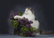 The cat plays with a bouquet of lilacs Stock Photography