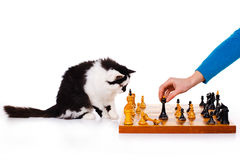 Cat plays chess Royalty Free Stock Photography