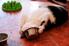 Cat plays with his food bowl. Cute little house cat. Pet animals. Domestic animals Royalty Free Stock Images