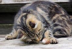 Cat plays Stock Image