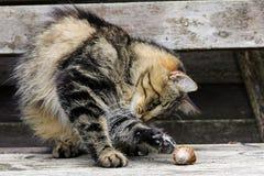 Cat plays Royalty Free Stock Photos