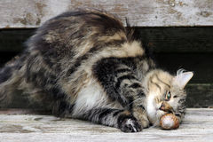 Cat plays. A Norwegian forest cat plays with an edible snail Royalty Free Stock Images
