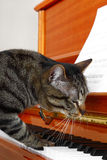 Cat plays piano Stock Photos