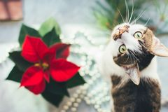 Cat with poinsettia. Cozy Christmas background. Funny pet picture. Happy New Year stock photo