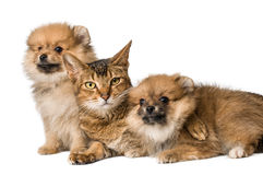 Cat and Pomeranian puppies Stock Image
