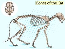 Cat Pop art skeleton veterinary raster, cat osteology, bones. Cat Pop art skeleton veterinary raster illustration, cat osteology, bones royalty free illustration