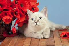 Cat with poppies flowers royalty free stock photo