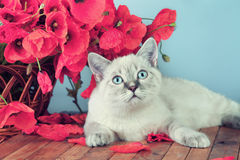 Cat with poppies flowers Stock Photo