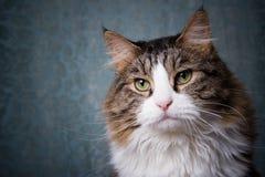 Cat portrait. Portrait of a longhair cat Royalty Free Stock Image