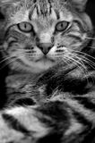 Cat Portrait. Portrait of beautiful european short hair , blak and white Royalty Free Stock Images