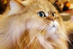 Cat Portrait. Posing orange persian cat portrait stock photos