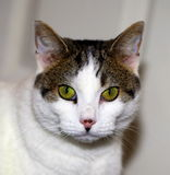 Cat portrait. Closeup of a thoughtul young cat with pretty nose Royalty Free Stock Photos