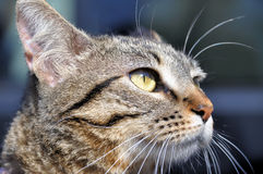 Cat portrait. Portrait of a striped cat looking into the sun Royalty Free Stock Photos
