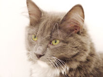 Cat Portrait. Close up of a young gray cat on white Royalty Free Stock Photography