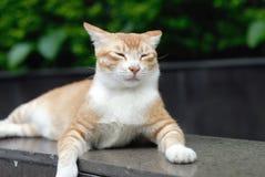 Cat portrait. A orange domestic cat portrait Royalty Free Stock Photography