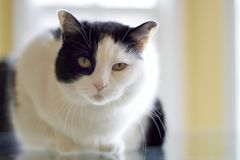 Portratit of a white and black house cat with intense stare. royalty free stock images