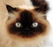 Cat portrait. Amazed cat portrait close-up Stock Photo
