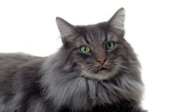 Cat portrait. Portrait of a norwegian forest cat Royalty Free Stock Image