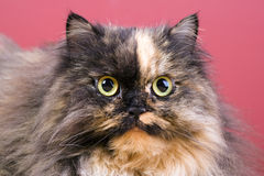 Cat portrait. Royalty Free Stock Image