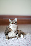 Cat Portrait Stock Images