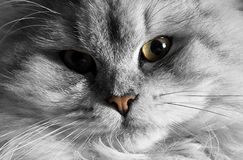 Cat portrait 2 Royalty Free Stock Photography
