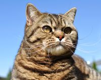 Cat portrait. Portrait of a british classic shorthair tabby cat outdoor Stock Photos