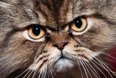 Cat portrait. Pretty cat portrait (persian cat Stock Photography