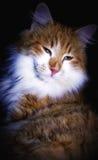 Cat portrait Royalty Free Stock Image