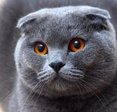 Cat portrait. A cat breed named Scottish Fold with fabulous eyes royalty free stock photo