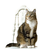 Cat Portrait. Portrait of cat sitting on chair with white background Royalty Free Stock Photos