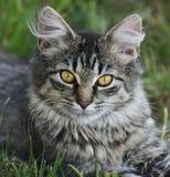 Cat Portrait imagem de stock