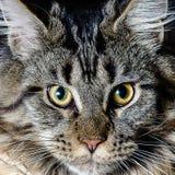 Cat Portrait fotografia stock