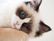 Cat Portrait lizenzfreie stockbilder