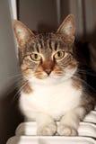 Cat Portrait Immagine Stock