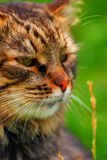 Cat Portrait. Close-up of brown cat on green background stock image