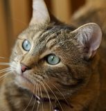 Cat Portrait. Portrait of tabby cat looking to get into trouble Royalty Free Stock Image