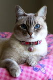 Cute cat with blue eyes. Portrait of cute cat with blue eyes resting on cozy pink blanket or bed Stock Photo
