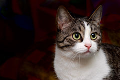 Cat portrait. On dark background Royalty Free Stock Images