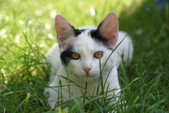 Cat portrait. Curious cat resting in the grass stock photography