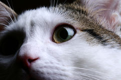 Cat portrait. Closeup portrait of cat with black background royalty free stock images