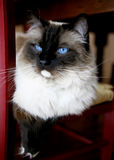 Cat portrait. Portrait of a beautiful purebred black and white cat staring with blue eyes stock photos