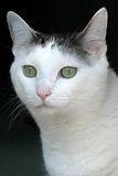 Cat Portrait. Tight portrait of mixed breed cat Stock Images