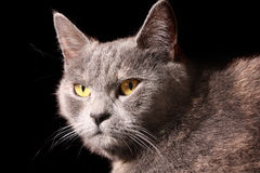 Cat portrait. On black background Royalty Free Stock Image