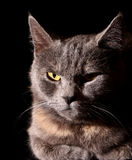 Cat portrait. On black background Royalty Free Stock Images