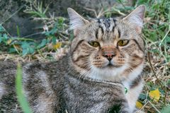 Cat portrait,american shorthair cat. Portrait of american shorthair cat in the backyard royalty free stock photos