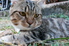 Cat portrait,american shorthair cat. Portrait of american shorthair cat in the backyard stock images