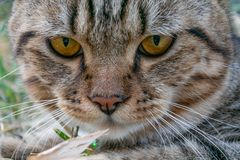 Cat portrait,american shorthair cat. Portrait of american shorthair cat in the backyard stock photo