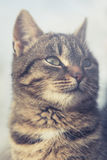 Cat portrait. Beautiful domestic cat looking forward Royalty Free Stock Images