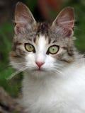 Cat portrait. Beautifull semi ferral cat portrait Royalty Free Stock Photos